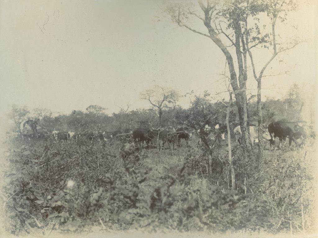 A travers la brousse, un attelage de boeufs tractant une charrette