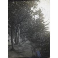 Allée d'eucalyptus et de pins à Morija