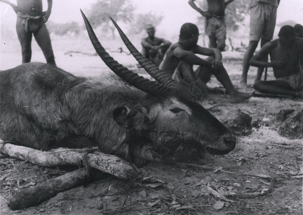 Antilope Coba / non identifié (1940/1960)