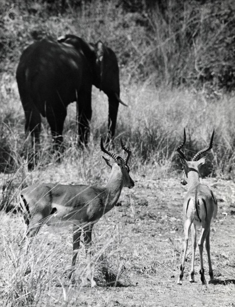 Antilopes et éléphant
