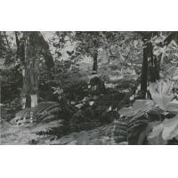 Arbre mape ou (chataignier tahitien) au bord d'une rivière