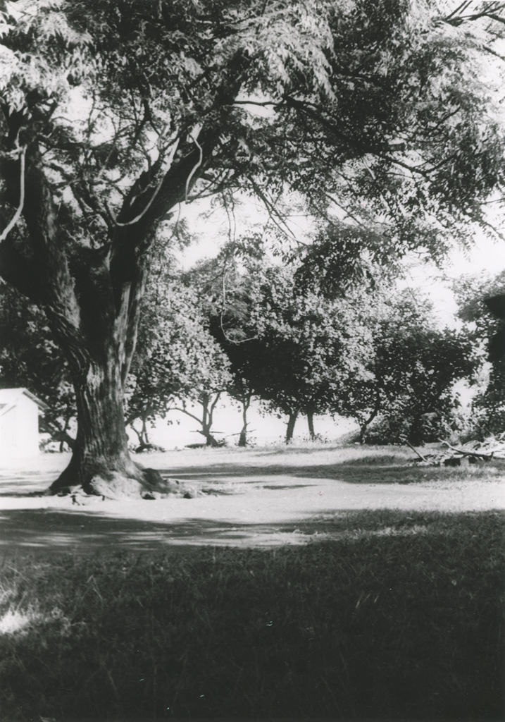 Arbre mape ou (chataignier tahitien)