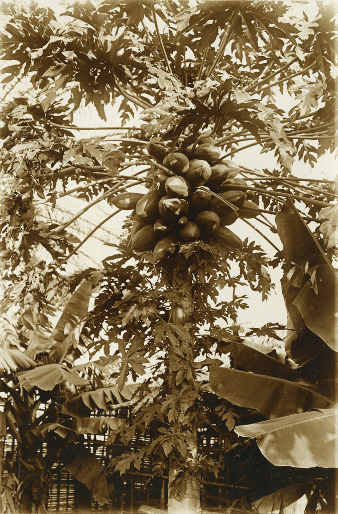 Arbres à melons à Ngambé