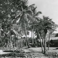 Aux abords d'une maison : un papayer, de la canne à sucre et un parc à cochons