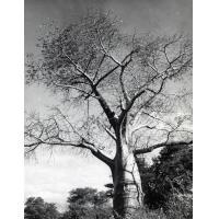 Baobab dans une plaine de Zambie
