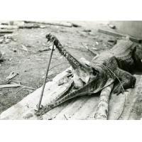 Bonne chasse à la léproserie, un caïman tué au Wolen, la rivière qui passe à Ebeigne