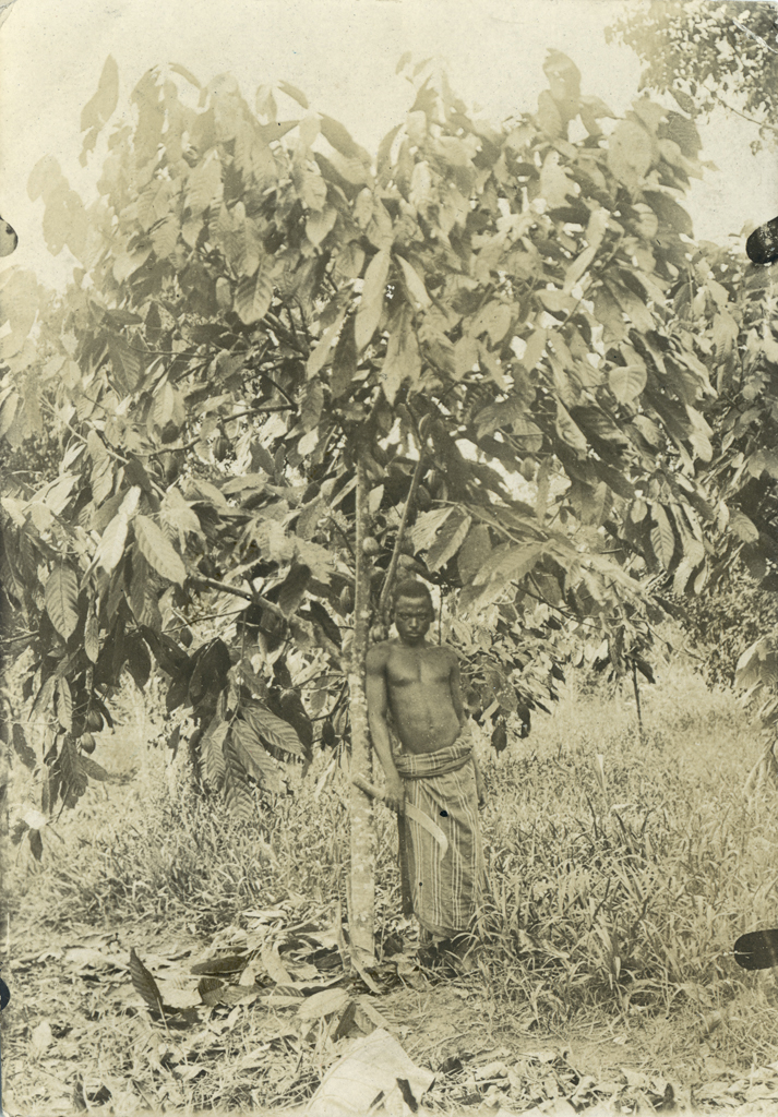 Cacaoyer planté par M. Faure