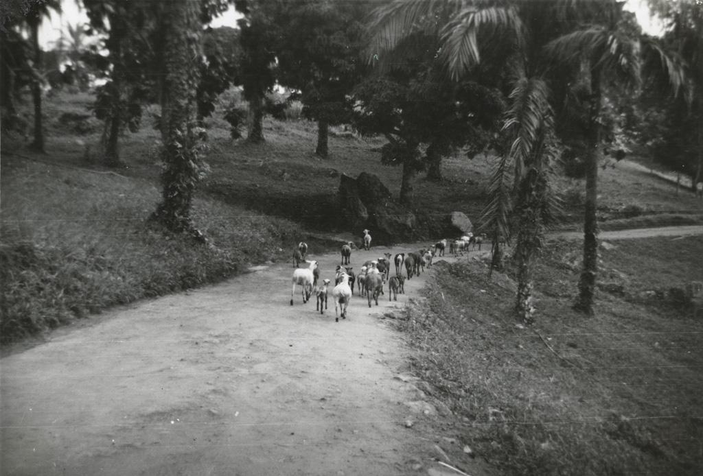 Chèvres dans la montagne