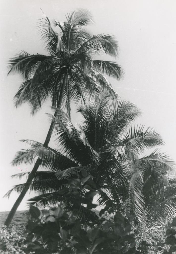 Cocotiers à Orofara