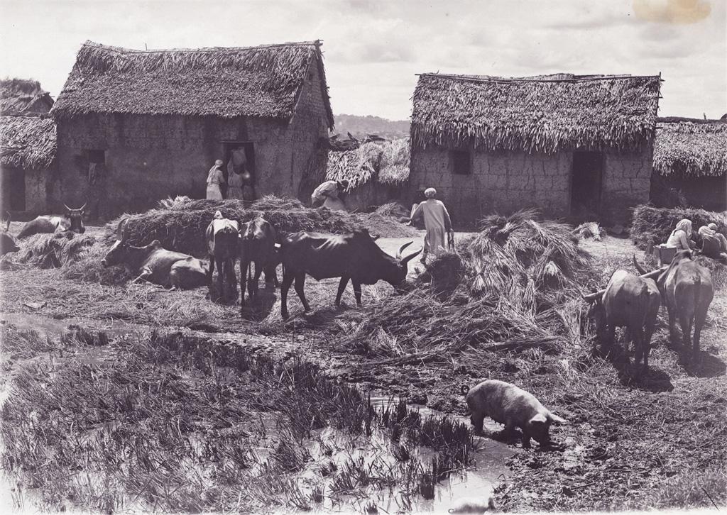 Cour d'une ferme pendant la récolte du riz