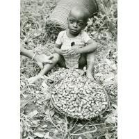 Cueillette des arachides, le petit Manuel