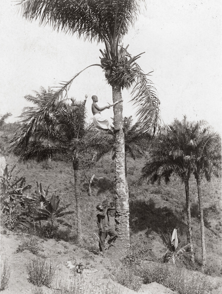 Cueillette du vin de palme