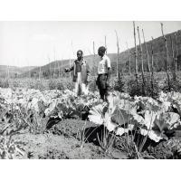 Cultures potagères diverses par un fermier d'Isoka, M. jimu Ngandil qui est un des fermiers de la région ayant obtenu le plus de succès
