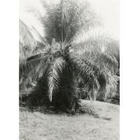 Elagage d'un palmier à huile