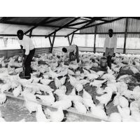 Elevage de poules dans une ferme modèle