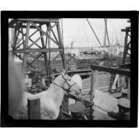 Embarquement de chevaux au port du Cap