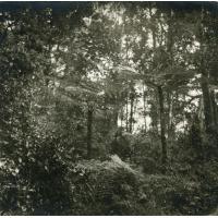 En tournée dans la forêt Betsimisaraka, fougères arborescentes