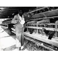 Ferme modèle d'élevage de vollailles, projet commercial de la banlieue de Fort Jameson (Province Orientale)