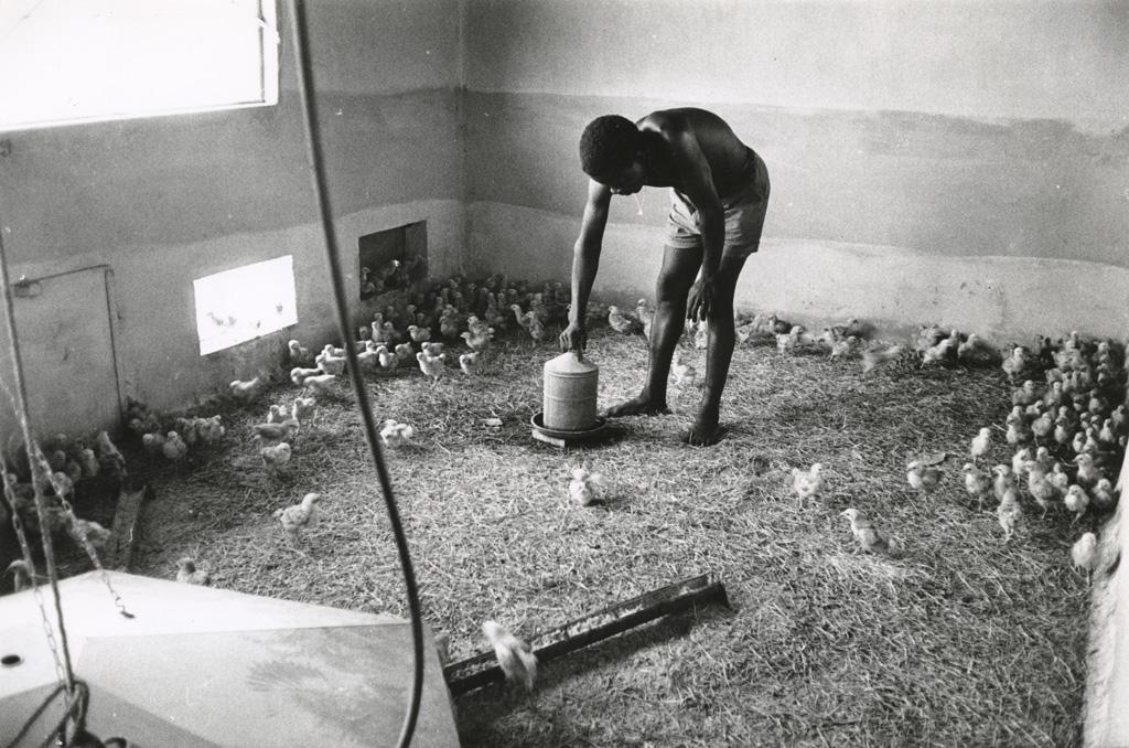 Ferme modèle, élevage de poussins