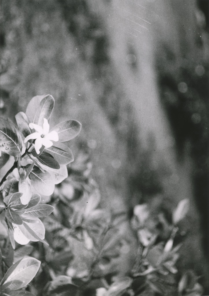 Fleur de Tiaré tahiti