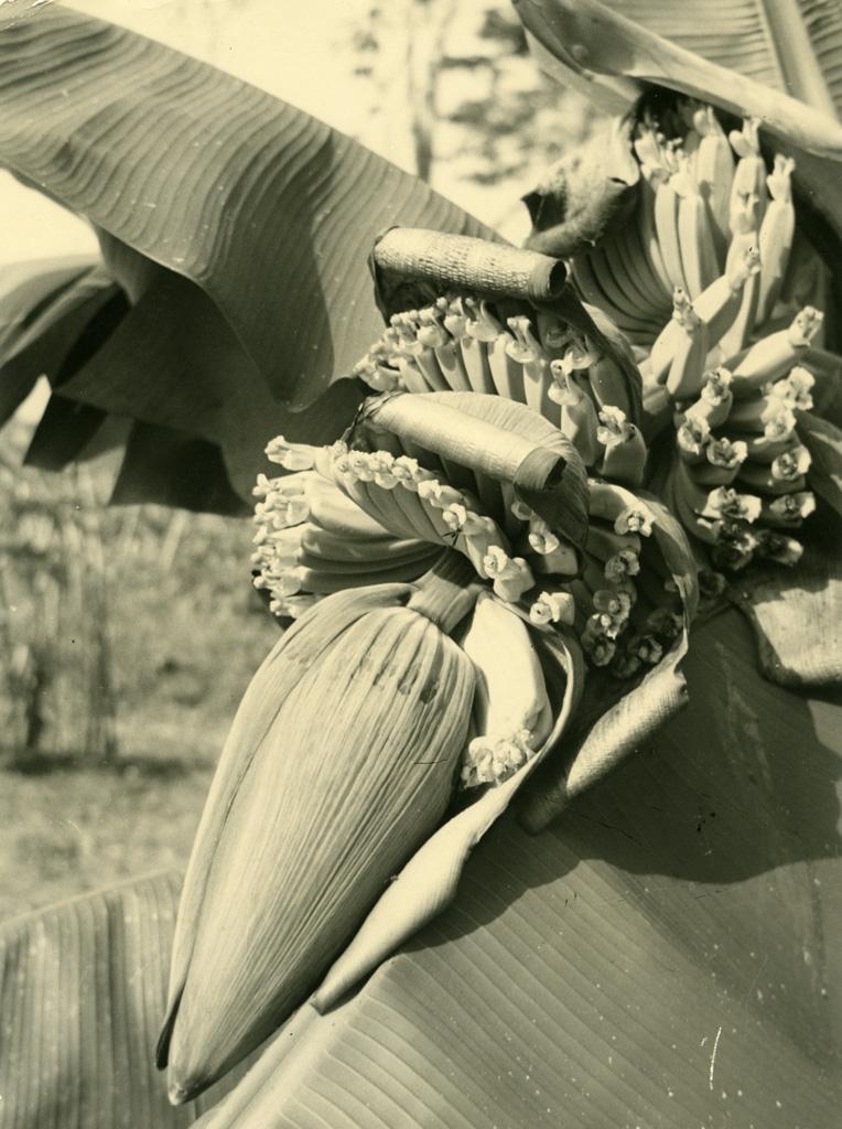 Fleur de bananier, le régime apparaît (3e stade)