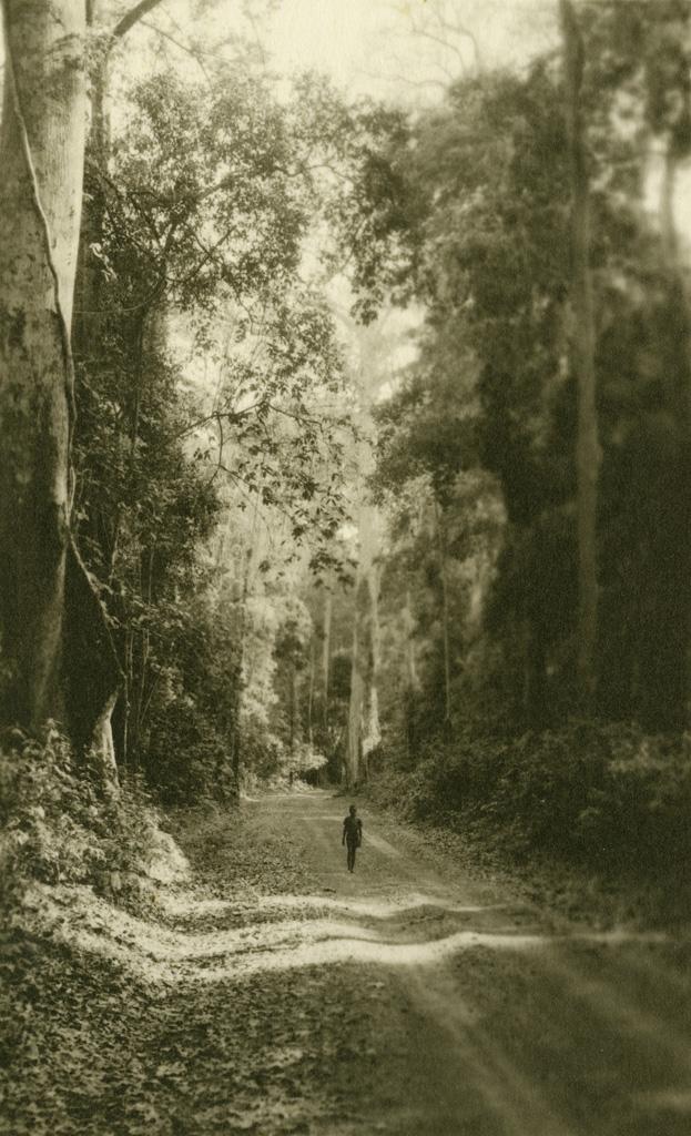Forêt d'hévéas, arbre à caoutchouc