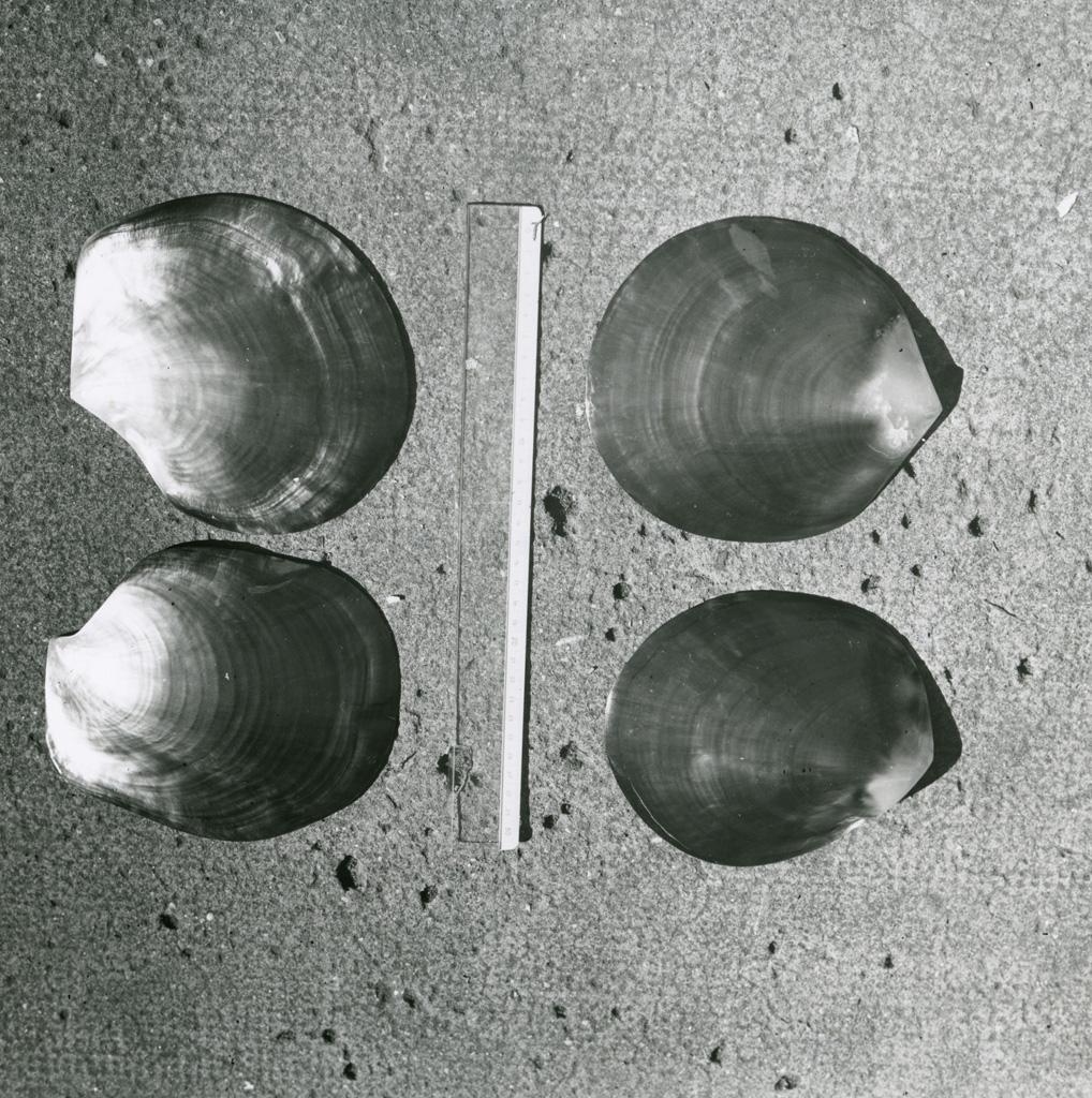 Huîtres nacrières de l'atoll de Manihi (Archipel des Tuamotu)
