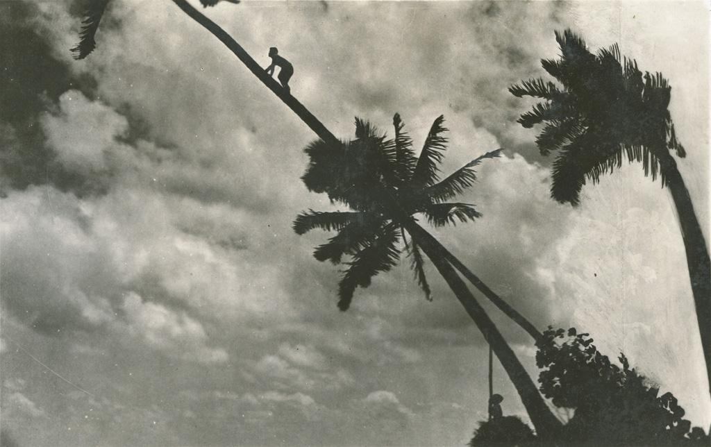 Indigènes allant chercher des noix de coco