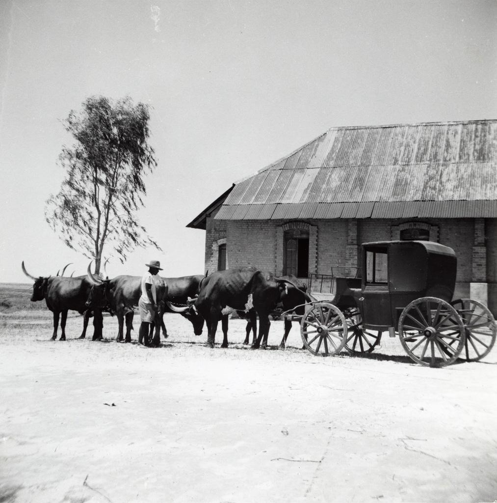 La calèche royale tirée par des boeufs devant un bâtiment
