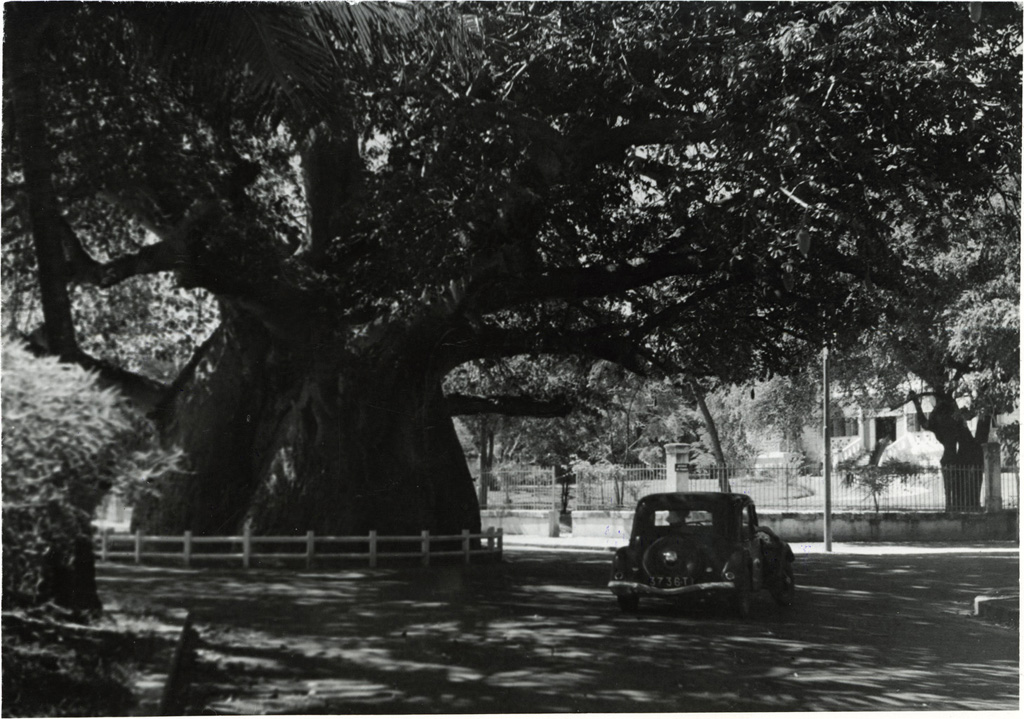 Le Grand Baobab de Mahajanga