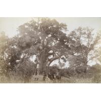 Le baobab de Monare près Séléka où nous avons campé en 1879
