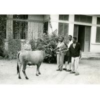 Le troupeau de la léproserie d'Ebeigne (vache adulte)