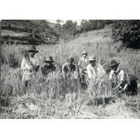 Moissonneurs dans les rizières