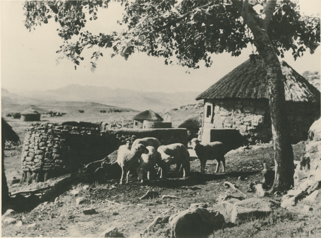 Moutons rentrant au Kraal (enclos à bétail), le soir