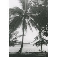 Palmiers à Arue, Tahiti