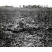 Parc national de Kafue en Rhodésie du Nord, crocodile près du camp de repos de Ngoma
