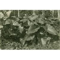 Plants de macabos dans la brousse
