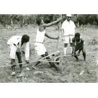Préparation de la plantation de riz de montagne : le dessouchage