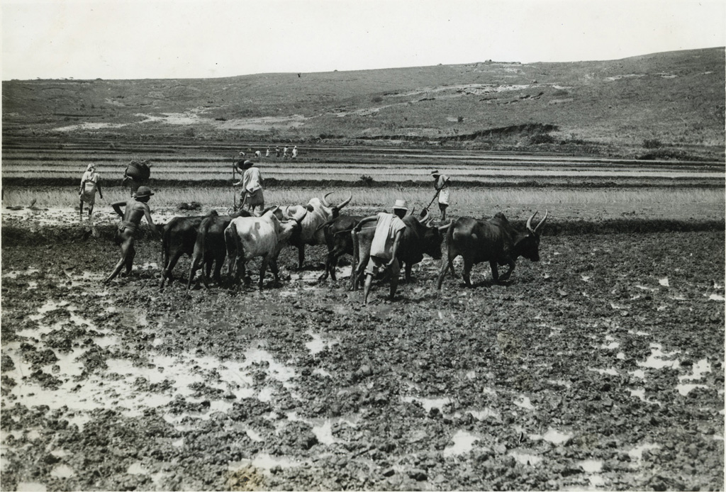 Préparation de la rizière avant le repiquage, piétinage par les boeufs, écrasement des dernières mottes à l'Angady