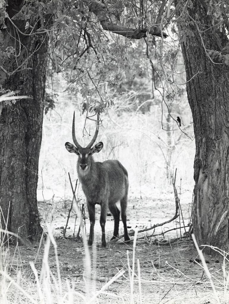 Réserve de Luangwa, antilope