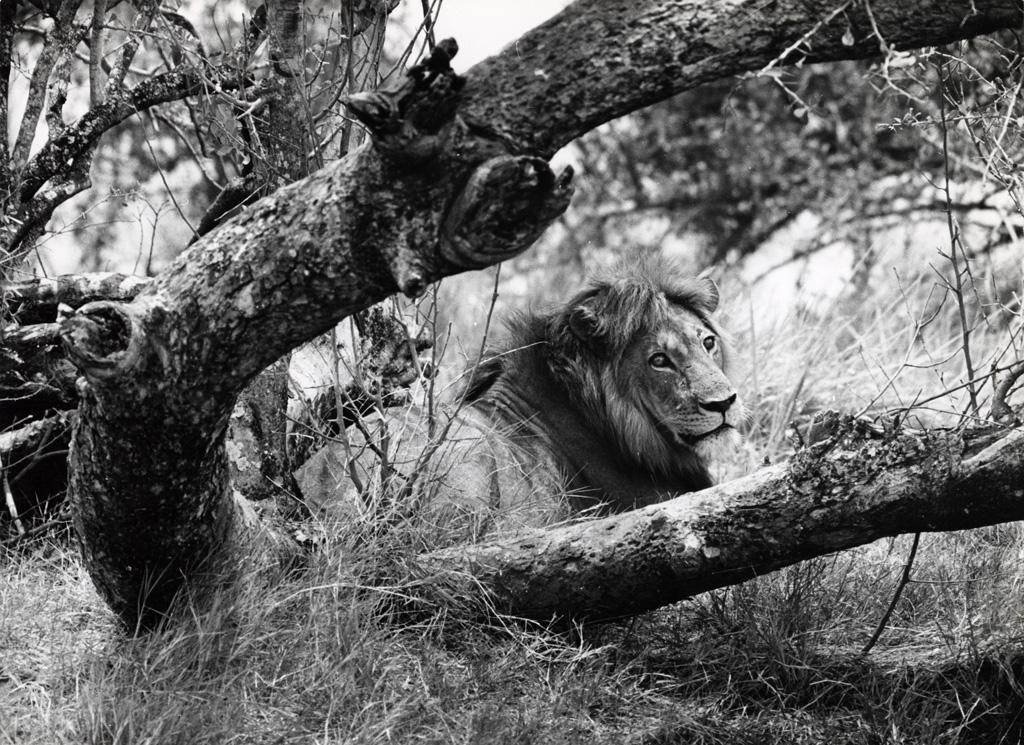 Réserve de Luangwa, lion