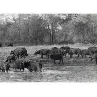 Réserve de Luangwa, troupeau de buffles
