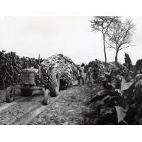 Tabac : chargement et transport par tracteur