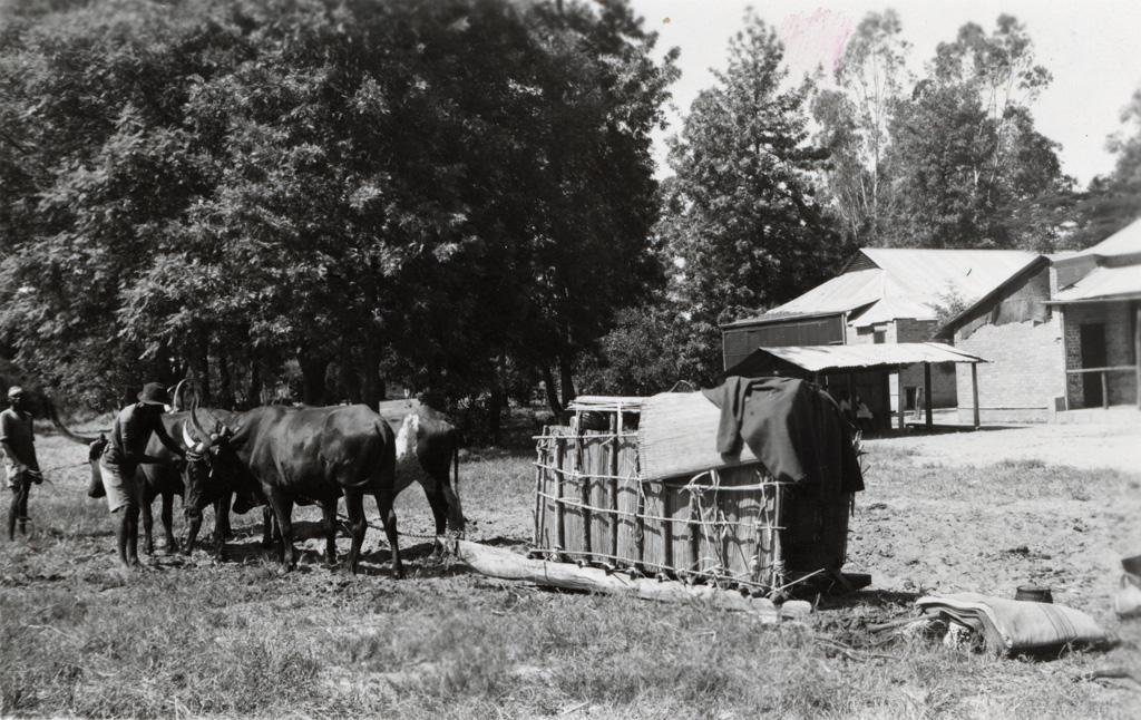 Transport d'un malade en traîneau tiré par des boeufs