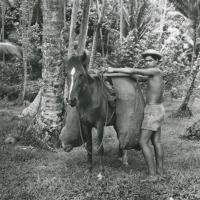Transport de noix de coco, avec un cheval de bât