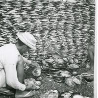 Tri et stockage des huîtres nâcrières (ou nacre)