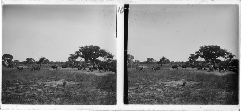 Troupeau de boeufs au mokulo (le bas de la plaine), Lukona