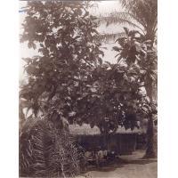 Un arbre à pain ou jaquier à Ndogbaboy, région de Yabassi