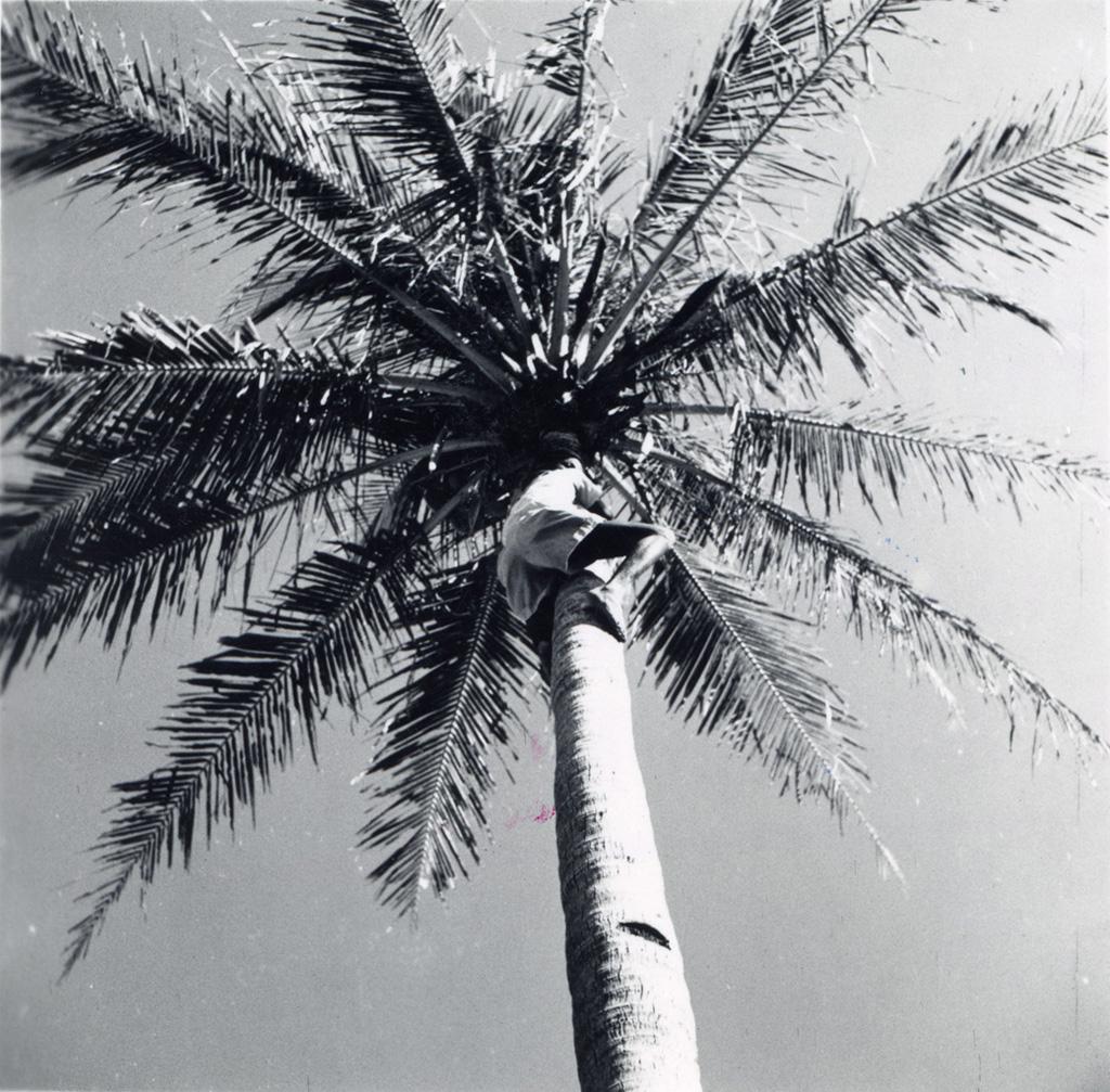 Un éclaireur grimpe dans un palmier