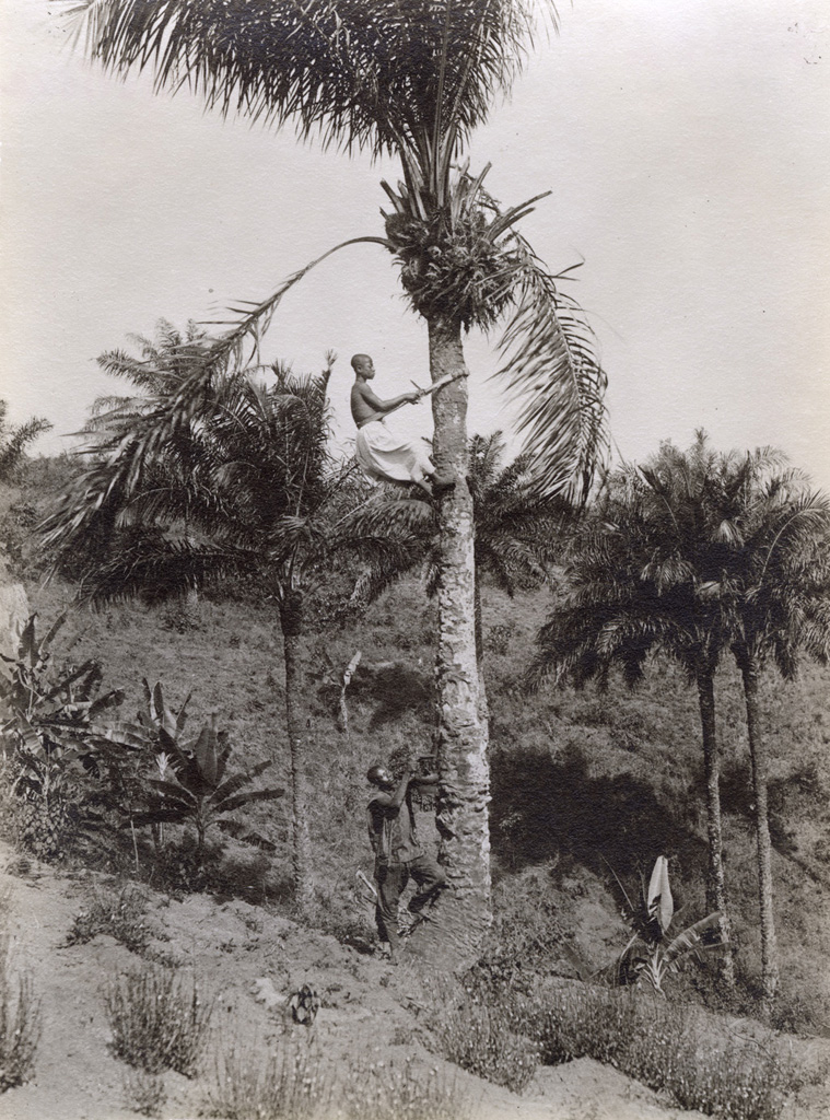 Un homme perçant un palmier pour en obtenir le vin